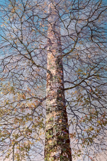 Gallery Autumn birch